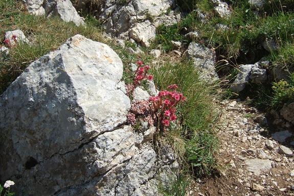 Sempervivum arachnoideum - joubarbe toile d'araignée Dscf5010