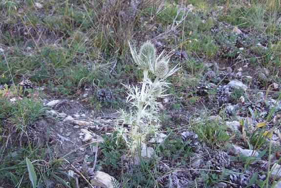Eryngium spinalba - panicaut blanc des Alpes Dscf5014