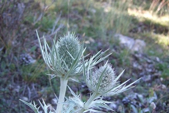 Eryngium spinalba - panicaut blanc des Alpes Dscf5016
