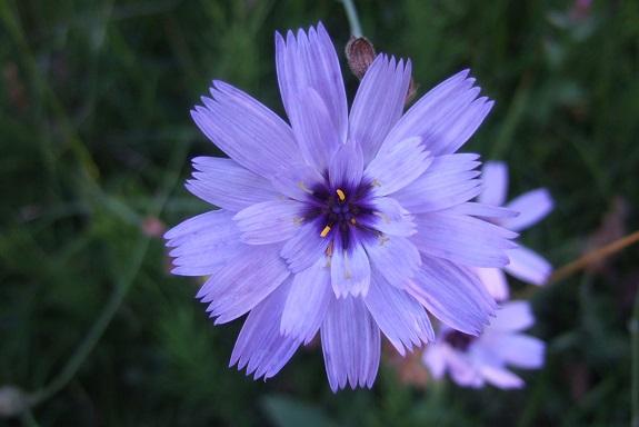 Catananche caerulea - catananche bleue  Dscf5028