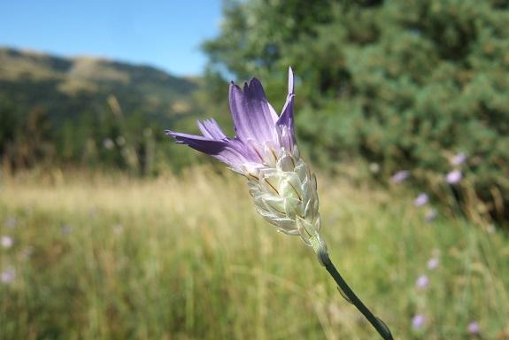 Catananche caerulea - catananche bleue  Dscf5029