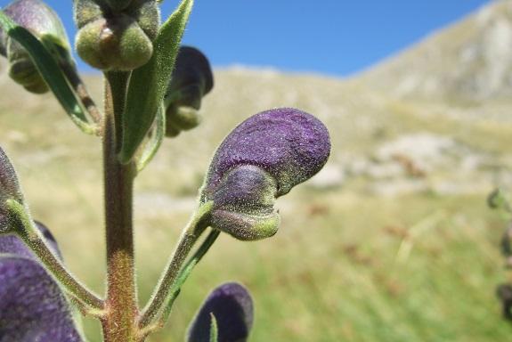 Aconitum napellus - aconit napel Dscf5044