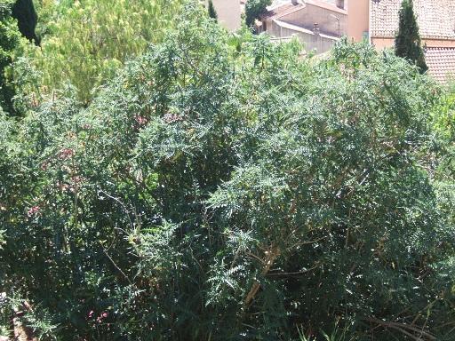 Acanthus arboreus - acanthe arborescente Dscf5046