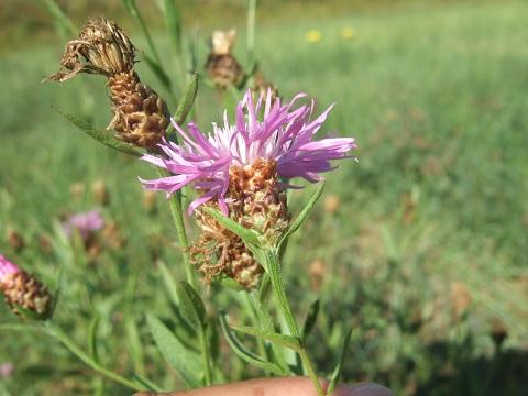 Centaurea jacea - centaurée jacée  Dscf5047