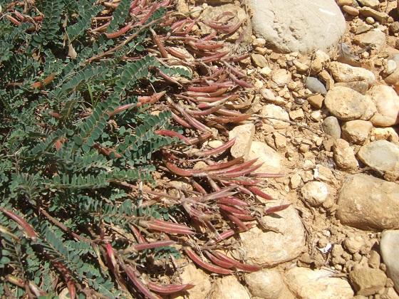 Astragalus monspessulanus - astragale de Montpellier Dscf5051