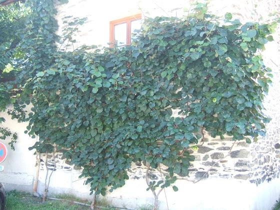 Actinidia chinensis Dscf5054