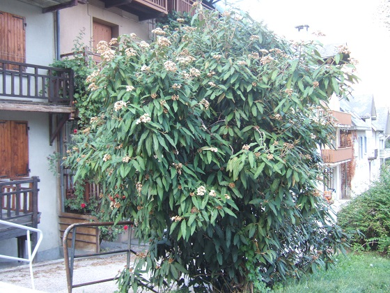Viburnum rhytidophyllum - Page 2 Dscf5057