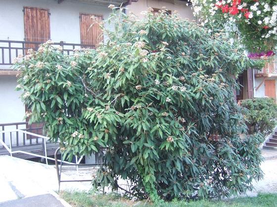 Viburnum rhytidophyllum - Page 2 Dscf5058