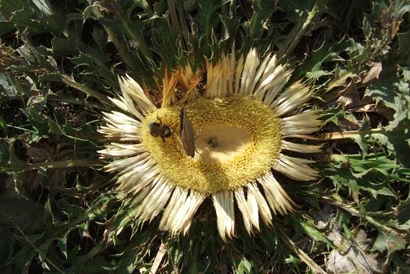 Carlina acanthifolia - cardabelle Dscf5111
