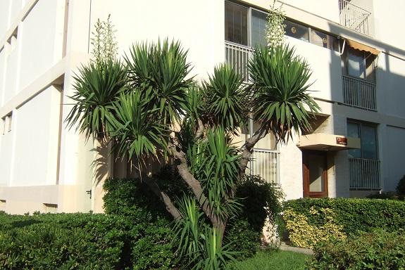 Yucca gloriosa - Page 5 Dscf5128