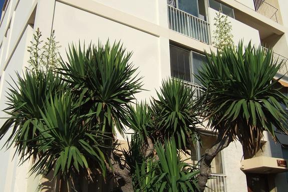 Yucca gloriosa - Page 5 Dscf5129