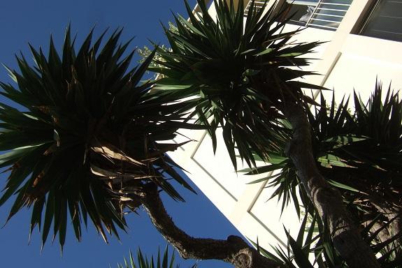 Yucca gloriosa - Page 5 Dscf5130