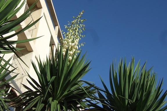 Yucca gloriosa - Page 5 Dscf5131