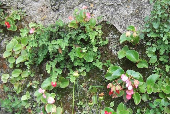 Begonia cucullata (= semperflorens) Dscf5133