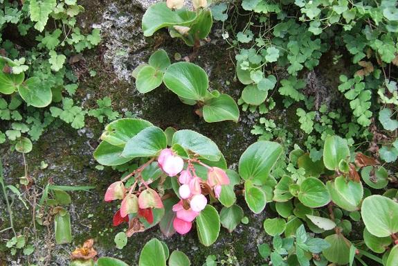 Begonia cucullata (= semperflorens) Dscf5134