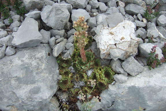 Sempervivum calcareum - joubarbe du calcaire Dscf5140