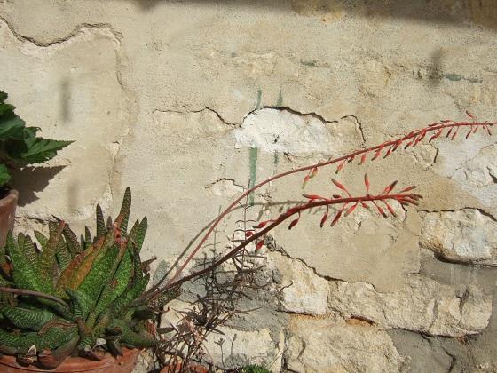 Gasteria carinata var. verrucosa Dscf5152