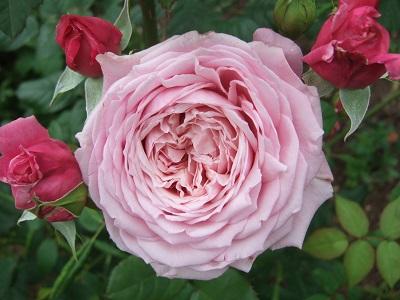 Les rosiers  parfumés Dscf5160