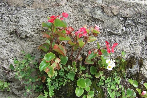 Begonia cucullata (= semperflorens) Dscf5210