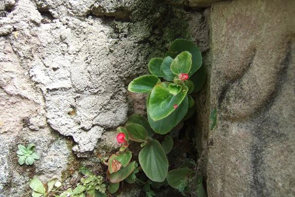 Begonia cucullata (= semperflorens) Dscf5212