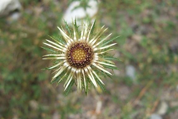 Carlina vulgaris - carline commune Dscf5224
