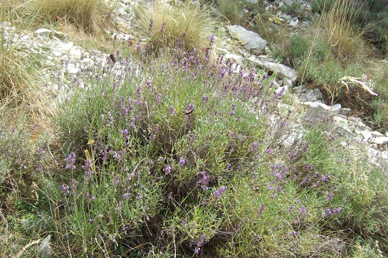Lavandula angustifolia subsp. angustifolia - lavande à feuilles étroites Dscf5228