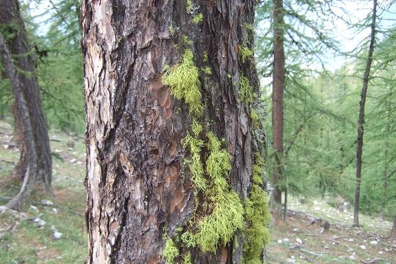 Letharia vulpina - lichen du renard Dscf5313