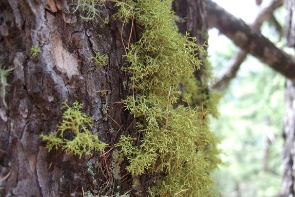 Letharia vulpina - lichen du renard Dscf5314
