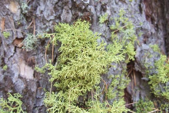 Letharia vulpina - lichen du renard Dscf5315