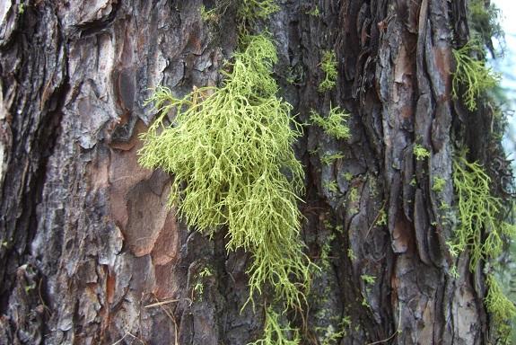 Letharia vulpina - lichen du renard Dscf5316