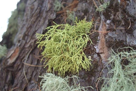 Letharia vulpina - lichen du renard Dscf5317