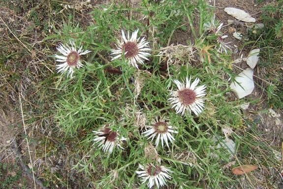 Carlina acaulis subsp. caulescens - carline acaule Dscf5318