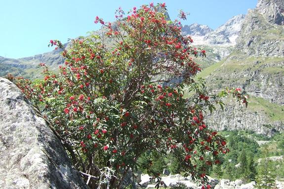 Sambucus racemosa - sureau rouge Dscf5331