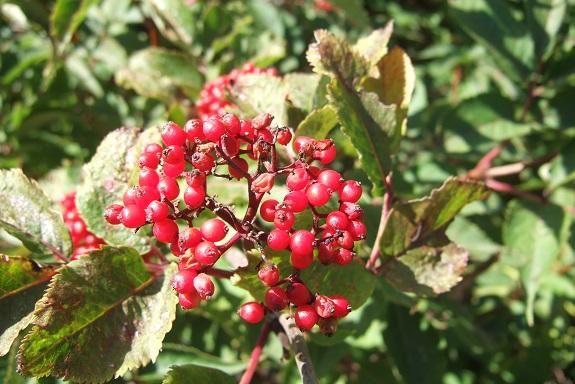 Sambucus racemosa - sureau rouge Dscf5332