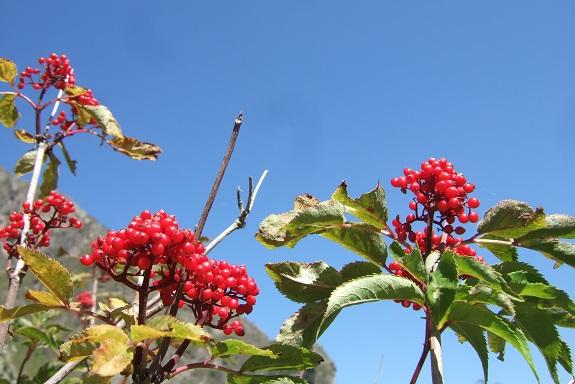 Sambucus racemosa - sureau rouge Dscf5333