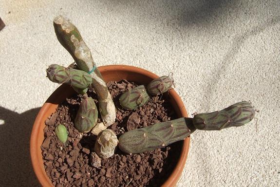 Senecio articulatus - Page 3 Dscf5335