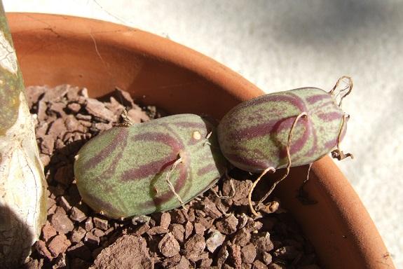 Senecio articulatus - Page 3 Dscf5336