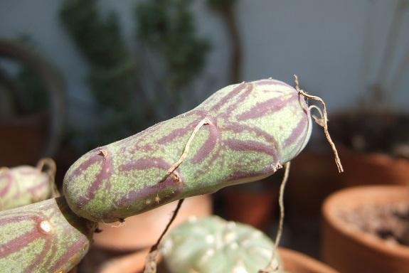 Senecio articulatus - Page 3 Dscf5337