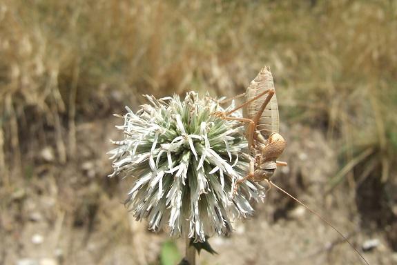 Echinops sphaerocephalus - échinops à tête ronde Dscf5341
