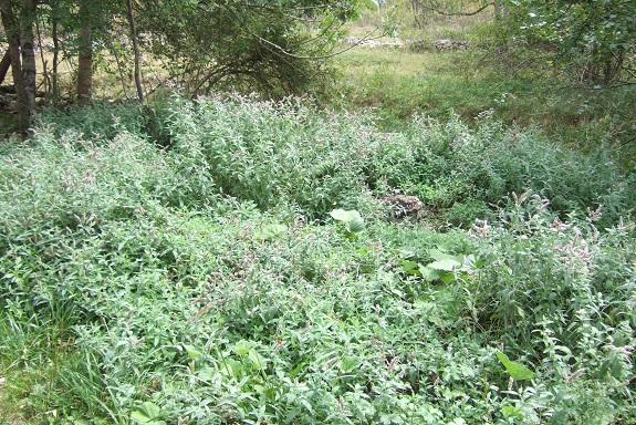 Mentha longifolia - menthe à feuille longue  Dscf5411