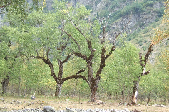 Populus nigra - peuplier noir - variétés, cultivars Dscf5416