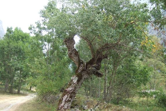Populus nigra - peuplier noir - variétés, cultivars Dscf5417