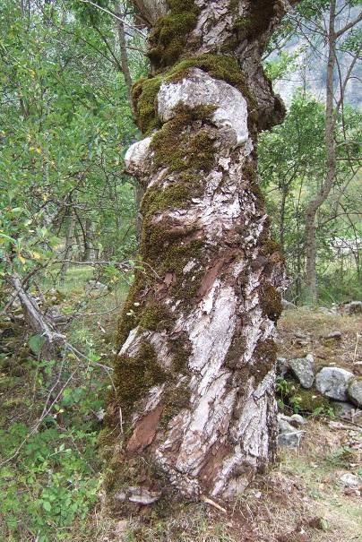 Populus nigra - peuplier noir - variétés, cultivars Dscf5418