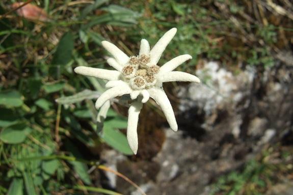 Leontopodium nivale subsp. alpinum - edelweiss  Dscf5422