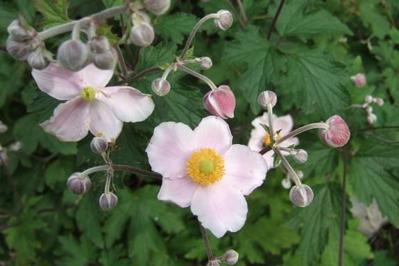 Anemone hupehensis - anémone de Chine ; Anemone hupehensis var. japonica - anémone du Japon - Page 2 Dscf5427