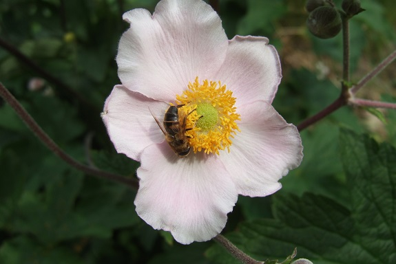 Anemone hupehensis - anémone de Chine ; Anemone hupehensis var. japonica - anémone du Japon - Page 2 Dscf5428