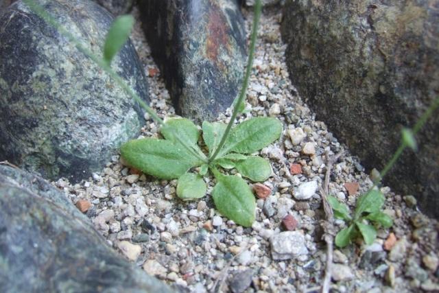 Arabidopsis thaliana - arabette des dames  Dscf5514