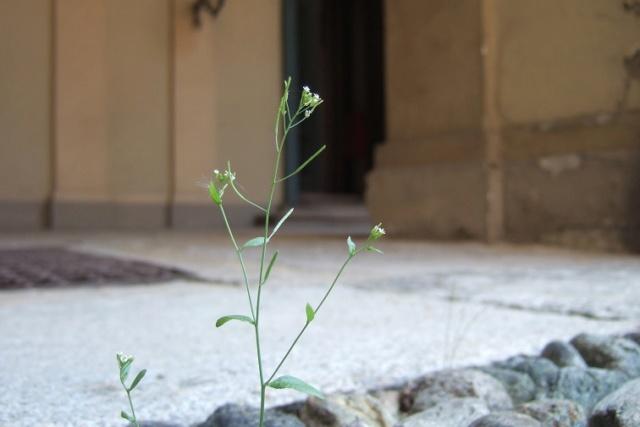 Arabidopsis thaliana - arabette des dames  Dscf5515