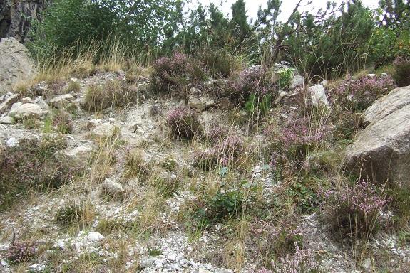 Calluna vulgaris - callune Dscf5517