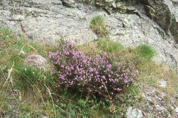 Calluna vulgaris - callune Dscf5518
